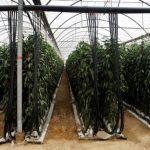 El pimiento murciano: una buena fuente de vitamina C presente en toda Europa