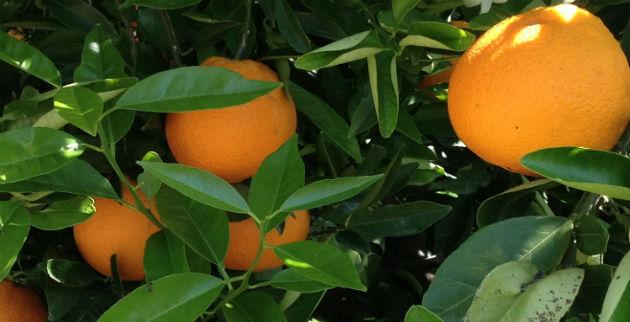 La naranja: mucho más que una gran portadora de vitamina C