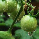 El agua del trasvase puede llegar a su hogar en una naranja, un tomate o una flor