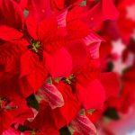El sureste español, la zona ideal para cultivar la flor de Pascua