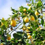 El limón, una fruta cada vez más internacional