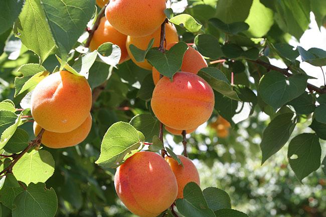 Fruta de hueso, tradición que depende del Trasvase